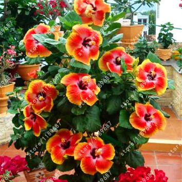 200pcs/bag hibiscus flower seeds hibiscus seed bonsai flower seeds 24 Colors to choose plant for home garden