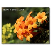 Winter Flowers In Tiberias, Israel Postcard