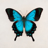 'Butterfly Blue' Photography Print » Craftori
