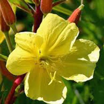 EVENING PRIMROSE 100+ SEEDS ORGANIC NEWLY HARVESTED