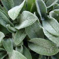 Lambs Ear Seeds (Stachys Byzantina Lanata) 50+Seeds