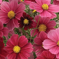 The Dirty Gardener Heirloom Cosmos Sensation Dazzler Flower Mix, 140 Seeds