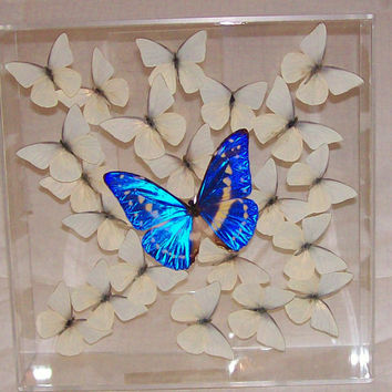 Real Gorgeous Iridescent Blue Rare Morpho Butterfly Among a Swarm of Snow White Butterflies