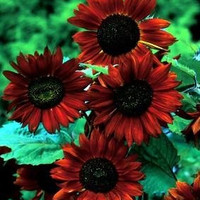 The Dirty Gardener Velvet Queen Sunflower, 18 Seeds