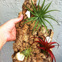 Air Plants on Cork Wood Wall Hanging