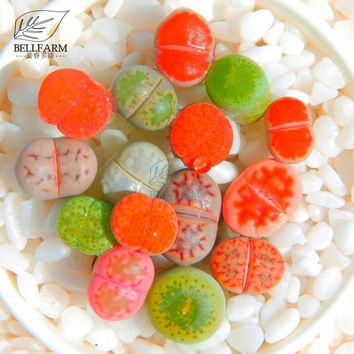 BELLFARM Mixed 10 Types of Lithops Seeds, 10 Seeds, Rose Red Pink Green Gray Colorful Living Stones Succulent Bonsai Garden