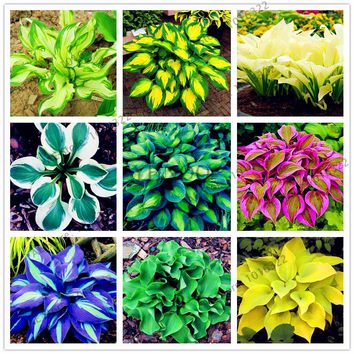 200pcs/pack Hosta Seeds Perennials Plantain beautiful  Lily Flower White Lace Home Garden Ground Cover Plant