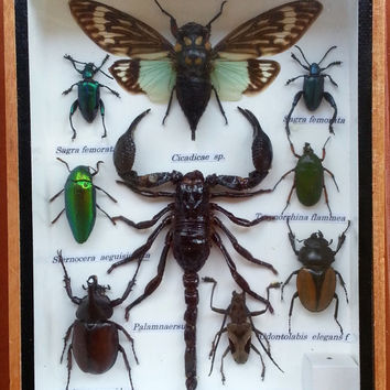 9 Insects in Wood Box * Display * Beetles * Bugs * Taxidermy * Entomology * Framed Insects * Palamnaersus * Odontolabis * Cicada * Saga * 6