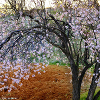 """Flowering Almond"". At Sunset by Guido Montañés"
