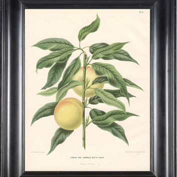 BOTANICAL PRINT Wendel 8x10 Botanical Art Print 1 Beautiful Peach Fruit Tree Branch Plant to Frame Interior Design
