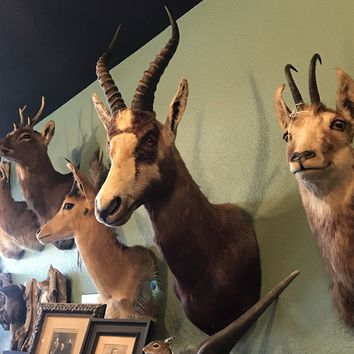 African Blesbok Taxidermy Mount