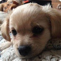 Los Angeles, CA - Maltese/Labrador Retriever Mix. Meet Cupid - Valentina Pup a Puppy for Adoption.