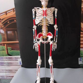 85cm  Human skeleton anatomical model for sale Anatomical Anatomy Skull Sculpture Muscle Bone Artist medical school study model