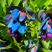 100 Gram Approx. 1500 Seeds Cerinthe Honeywort Major Purpurasces Shrimp Plant Blue Purple Garden Wax Flower B0030(1)
