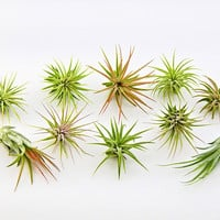 Bliss Gardens 10 Pack Assorted Ionantha Air Plants