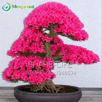 10PCS Japanese Sakura Seeds Bonsai Tree Seed Flower Garden Seeds Cherry Blossoms