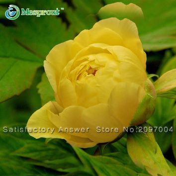 New Arrival! 10 PCS Rare Chinese Yellow Peony Seeds Beautiful Flower Garden and Bonsai Plants Paeonia suffruticosa Seeds