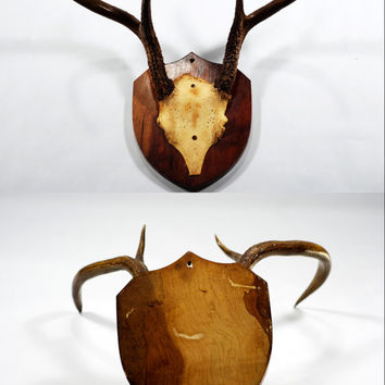 Mounted Antlers and Skull Plate, Wall Hanging Antlers, Mounted Taxidermy, Rustic Decor