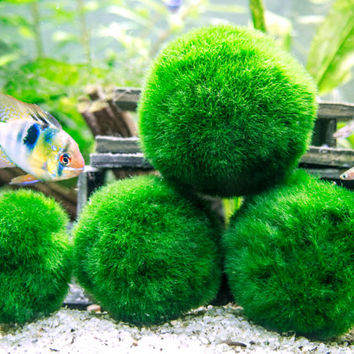 "Giant Marimo Moss Ball - 8-15 Years Old! - 1.5"" to 2.5"" - For Terrariums & Aquariums - Ships PRIORITY from USA - Live Arrival Guaranteed!"