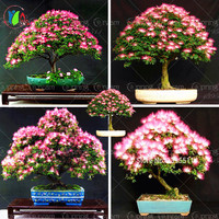 10 pieces bonsai Albizia Flower seeds called Mimosa Silk Tree ,seeds for flower potted plants ornamental-plant