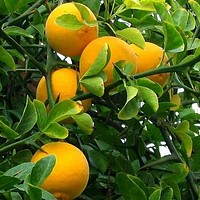 Hardy Orange Tree Seeds (Poncirus trifoliata) 5+Seeds