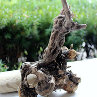Magnificent Driftwood Sculpture / Air Plant Holder , Natural Drift Wood Art