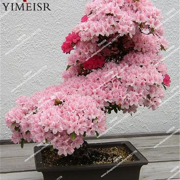 Bonsai Tree japanese sakura seeds rare Japanese cherry Blossoms Pink flowers seeds in indoor plant bonsai tree15seeds/bag