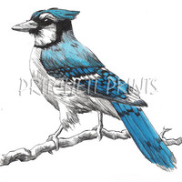 Pen and Ink Blue Jay Drawing Matted Art Print 8X8, 10X10, 12X12