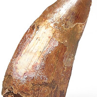 Dinosaur Fossil Tooth,  Ancient Prehistoric Life,  Organic Stone Carcharodontosaurus from the Cretaceous of Morocco Large Primeval Carnivore
