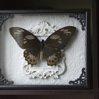 Female Priam's Birdwings - Shadow Frame Display - Insect Bug Museum Glass Nature Home Decor