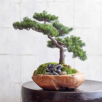Bonsai With Teak Bowl | Gump's