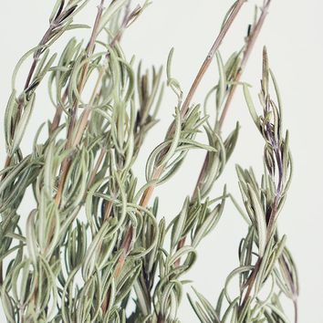 "Green Dried Fragrant Rosemary Herbs - 5 oz Bundle - 20"" Tall"