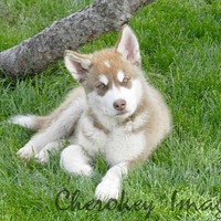 Red Malamute Puppy Dog Cute Animal Photography