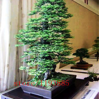 100pcs/bag Coast Redwood Seeds Sequoia sempervirens Bonsai tree ,tree seeds,Decoration plants for home garden