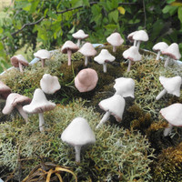 set of 20 little shrooms mushrooms perfect for terrariums planters fairy gardens and pin cushions they are sharp