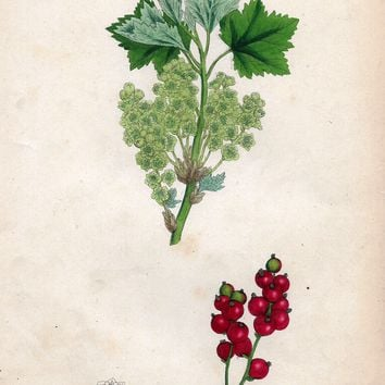 "Sowery Fruit Print - 1877 - ""RED CURRANT VARIETY"" - Hand-Colored Botanical Lithograph"