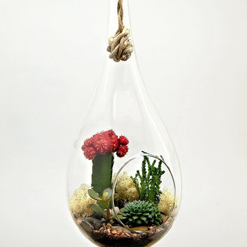 "Bliss Gardens Large Cactus Succulent Hanging 13"" Teardrop Terrarium / 1 Red Grafted Moon Cactus, 3 Succulents, Soil, Rocks and Moss Complete Kit"