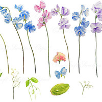 hand painted watercolour sweet pea blue purple pink digital clipart instant download for greeting cards and art project