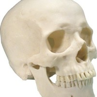 Life-Size Human Skull: Exact Replica Reproduction