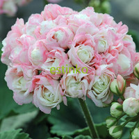 10pcs Rare Geranium Seeds Appleblossom Rosebud Pelargonium Perennial Flower Seeds Hardy Plant Bonsai Potted Plant