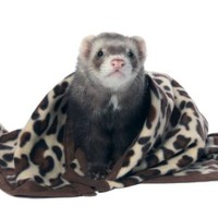 Marshall Designer Fleece Blanket for Ferrets, Pattern Fleece
