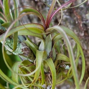 Northern Needleleaf Air Plant Seeds (Tillandsia balbisiana) 20+Seeds