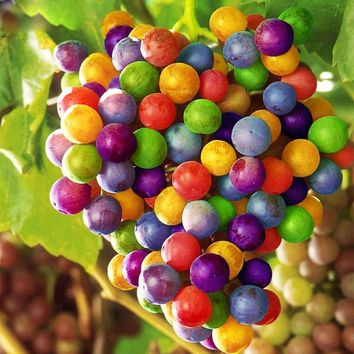 120 pcs Imported Beauty Rainbow Grape Seeds Advanced Fruit Seeds Natural Growth Grape Delicious Fruit Plants