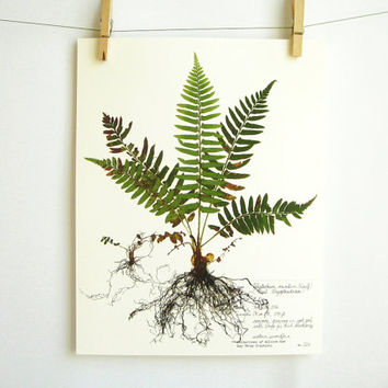 Western Sword Fern Print, #224, pressed fern art print of original herbarium specimen with fronds fiddleheads baby fern scientific wall art
