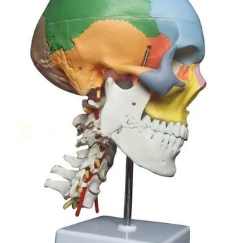 SHUNZAOR  human anatomy skeleton anatomical model for sale skull with colored bones cervical vertebra Medical Beige Sculpture