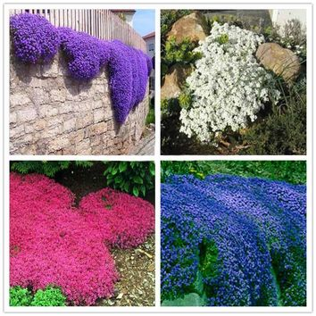 Climbing plant Creeping Thyme Seeds Blue ROCK CRESS Seeds Perennial Ground cover flower ,Natural growth for home garden -100pcs