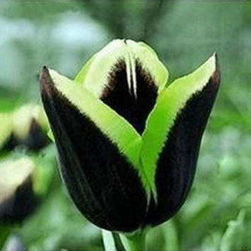 15 Green Edge Black Dragon Tulip Bulbs (Not Seeds), Unusual Rare Exotic Color Bulbous Root Flower Corms Numerous Home Garden Decor Plants