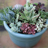 Succulent Plant - You Choose 4