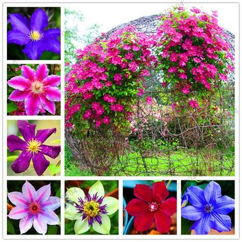 True mixed colors Clematis Bulbs,Clematis Flower seeds,Outdoor Plant,Natural Growth,Bonsai Home Garden 100pcs