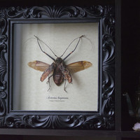 Harlequin Beetle - Insect Shadow Frame Display - Museum Bug Glass Home decor